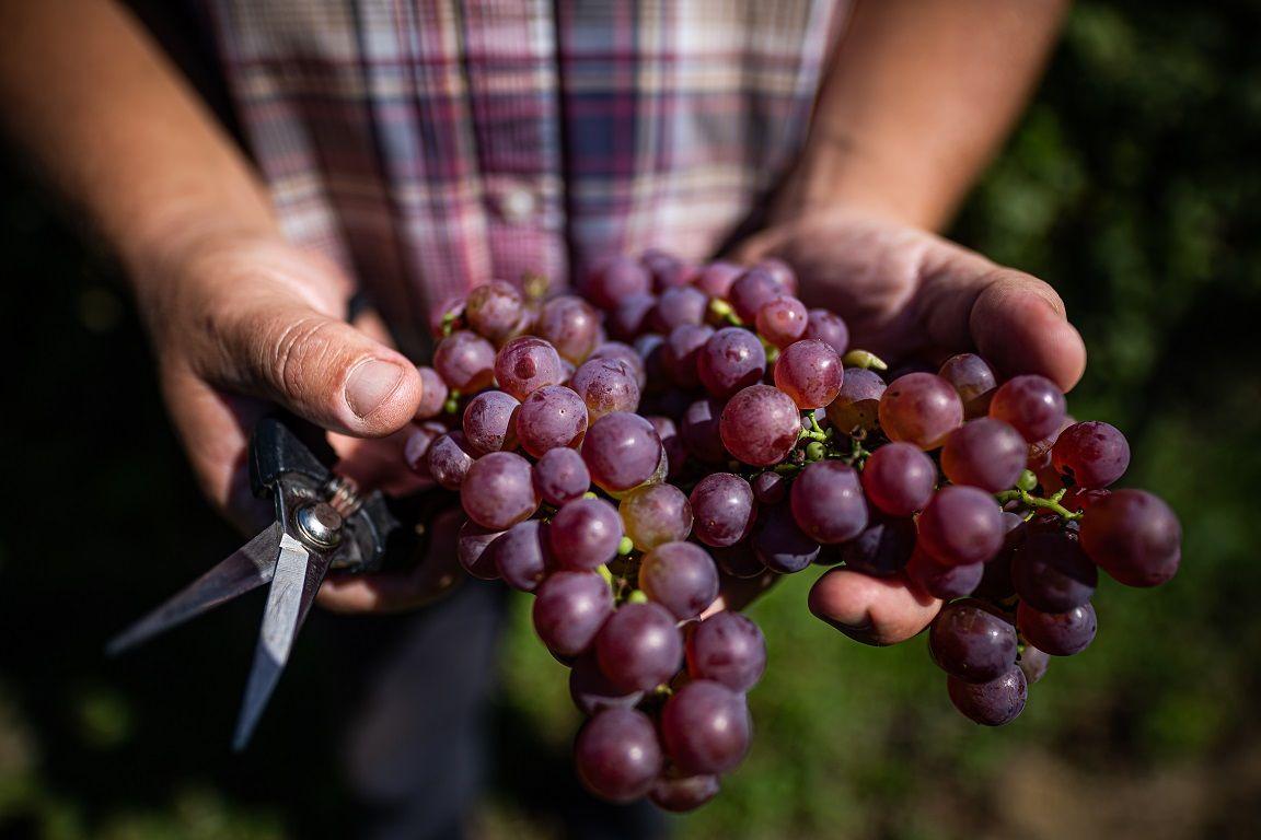 Vegyszermentes szőlőművelés lehet a fenntartható jövő záloga