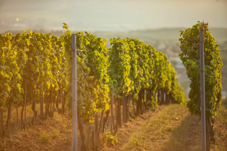 Mádi szőlőültetvény/Tokaji borvidék