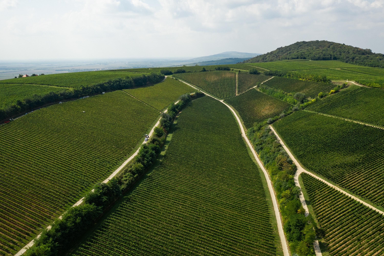 Ördögárok-dűlő szőlőültetvény/Villányi borvidék